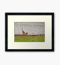 Tiger Stretching Ranthambore Framed Print