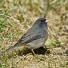 Dark-eyed Junco by Wayne Wood