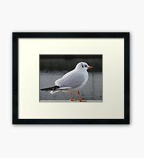 Swiss Gull Framed Print
