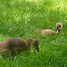 Canada Goose Goslings in the grass, Verona Park NJ by Jane Neill-Hancock