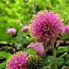 Sensitive Briar - A Texas Wildflower by aprilann