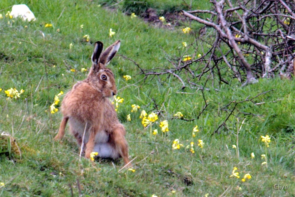 Lepus europaeus ~ Brown Hare by Clive