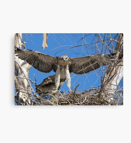 Red-tailed Chick #1 2012 (Wings wide) Canvas Print