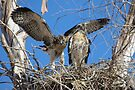 Red-tailed Chick #2 2012 (Wings wide) by Kimberly Chadwick