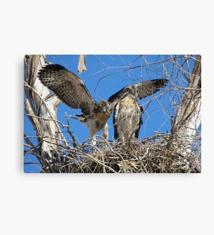 Red-tailed Chick #2 2012 (Wings wide) Canvas Print