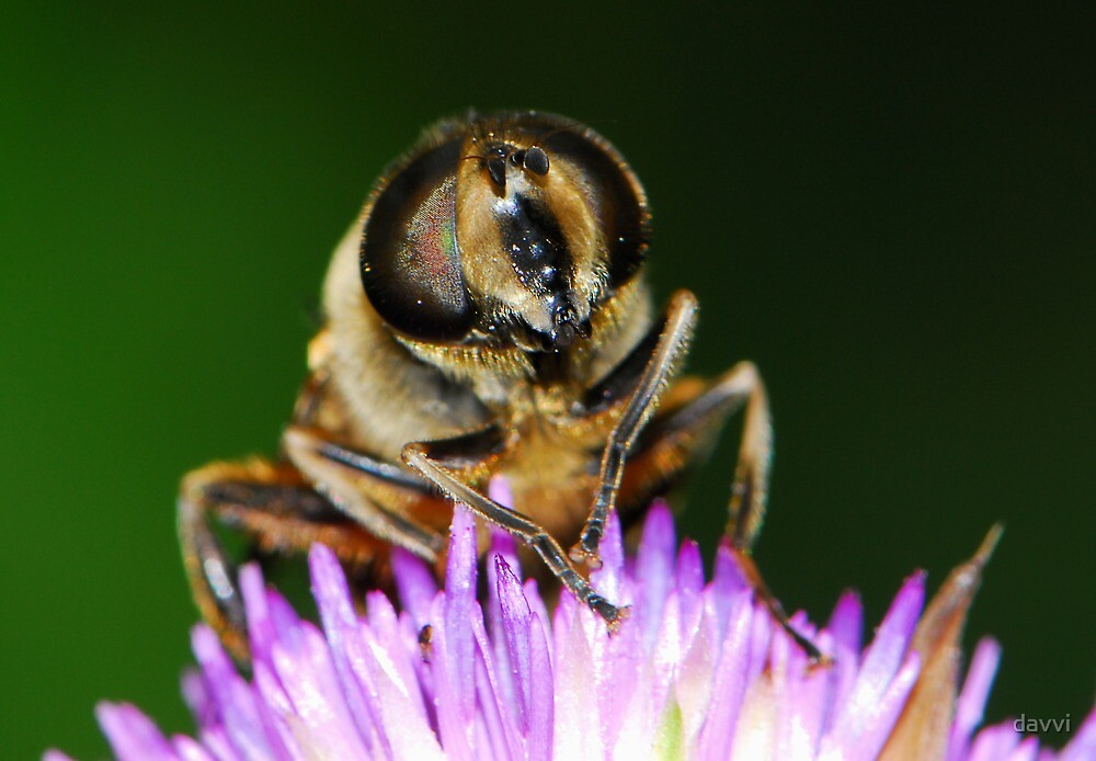 hoverfly with thistle by davvi