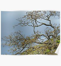 Garry oak Poster