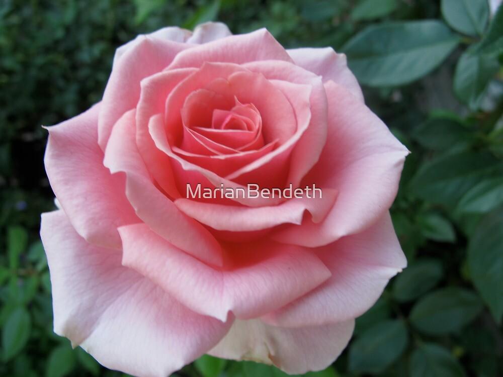 Mozart Rose by MarianBendeth