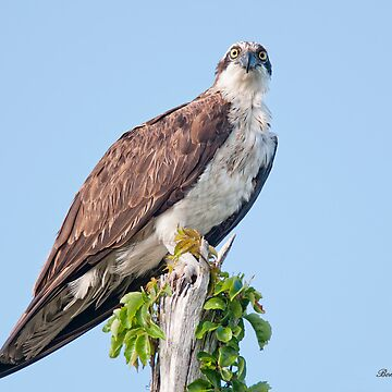 Osprey by Miracles