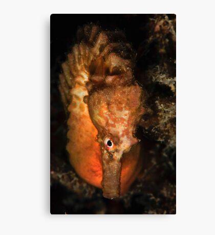 Big Bellied Seahorse Canvas Print