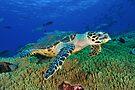 Hawksbill Turtle by MattTworkowski