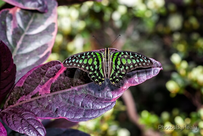 Tailed Jay by Photos by Healy