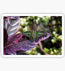 Tailed Jay Sticker