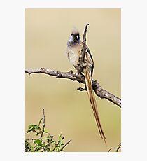Mousebird Photographic Print