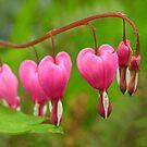 Bleeding Hearts by Acutogirl