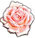 Perfect pink rose by Beth Brightman