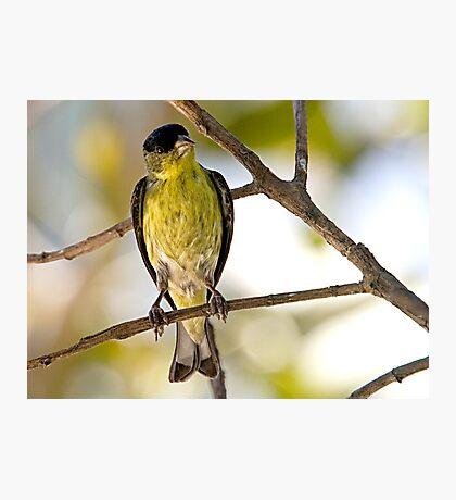 Female Lesser Goldfinch Photographic Print