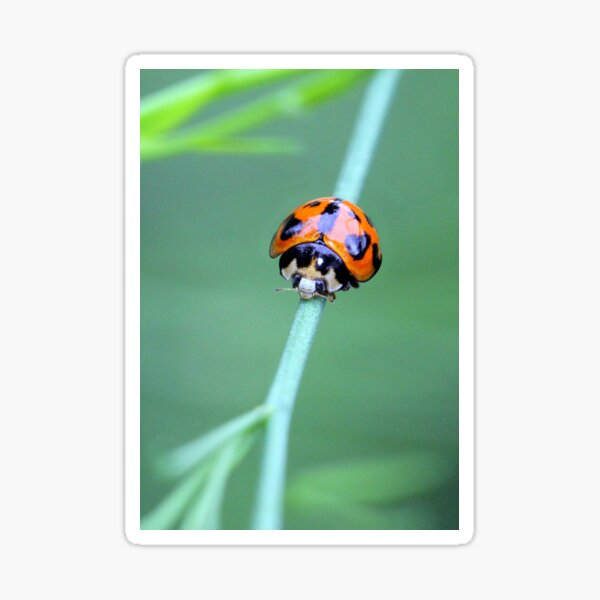 Little Ladybird Beetle Sticker
