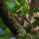 Fox Squirrel by Kathy Baccari