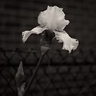 Blooming flower and fence dark image  by Jason Franklin