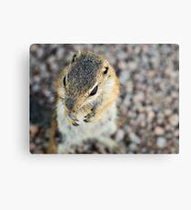Antelope Squirrel  Canvas Print