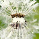Macro photography Dandelion by Falko Follert