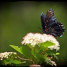 Wild Butterfly by Richard Skoropat