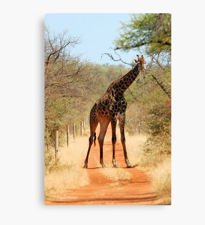 SORRY..., TAKE ANOTHER ROAD! - THE GIRAFFE – Giraffa Camelopardalis (KAMEELPERD) Canvas Print