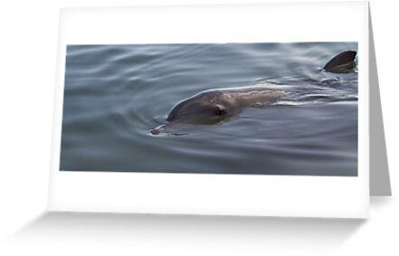 Bottlenose Dolphin - Monkey Mia - WA by Frank Moroni