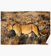 Lioness in profile Poster