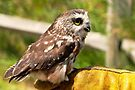 The Saw Whet Owl by Beth Brightman