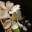 Buds Of May - Spring Snow Crabapple by jules572