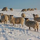 Snowy Sussex Sheep by FakeFate