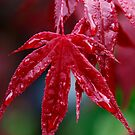 Wet Acer  by Stephen J  Dowdell