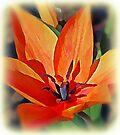Orange tulip by KatarinaD