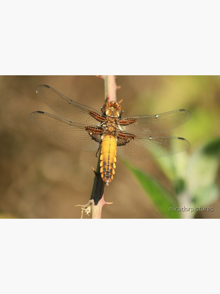 Broad bodied Chaser, Libellula depressa by miradorpictures