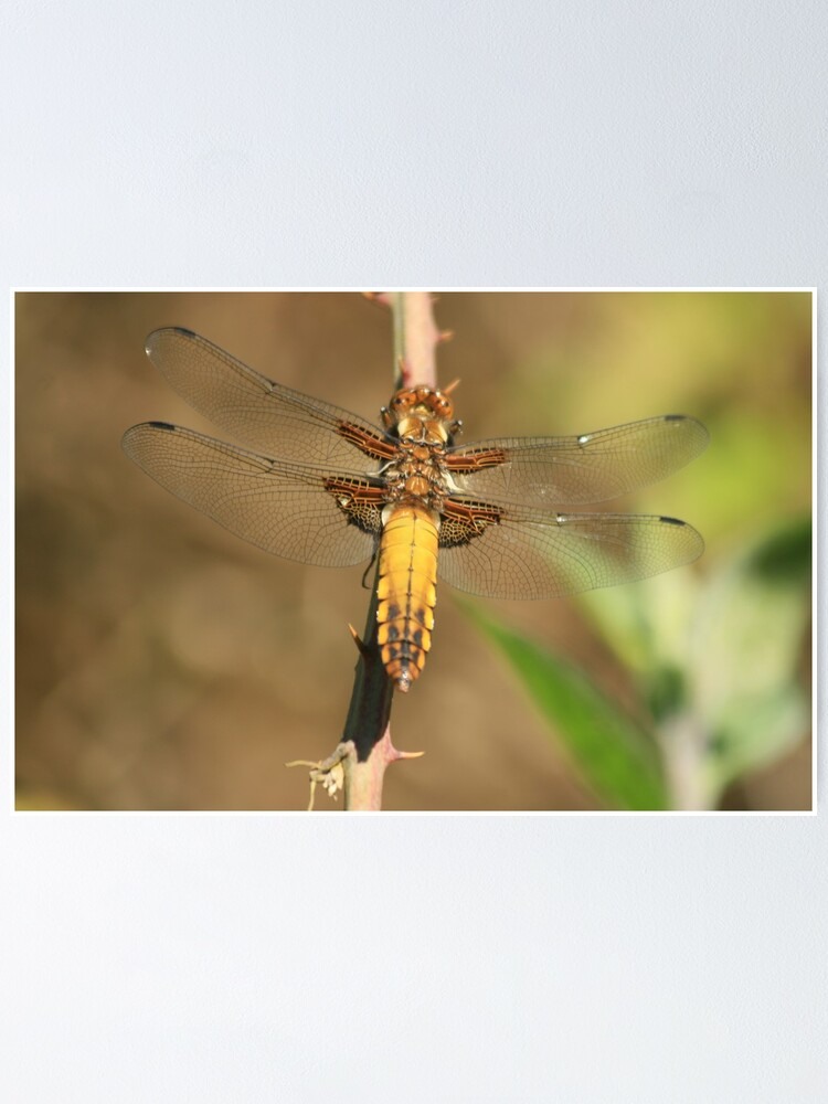 Alternate view of Broad bodied Chaser, Libellula depressa Poster