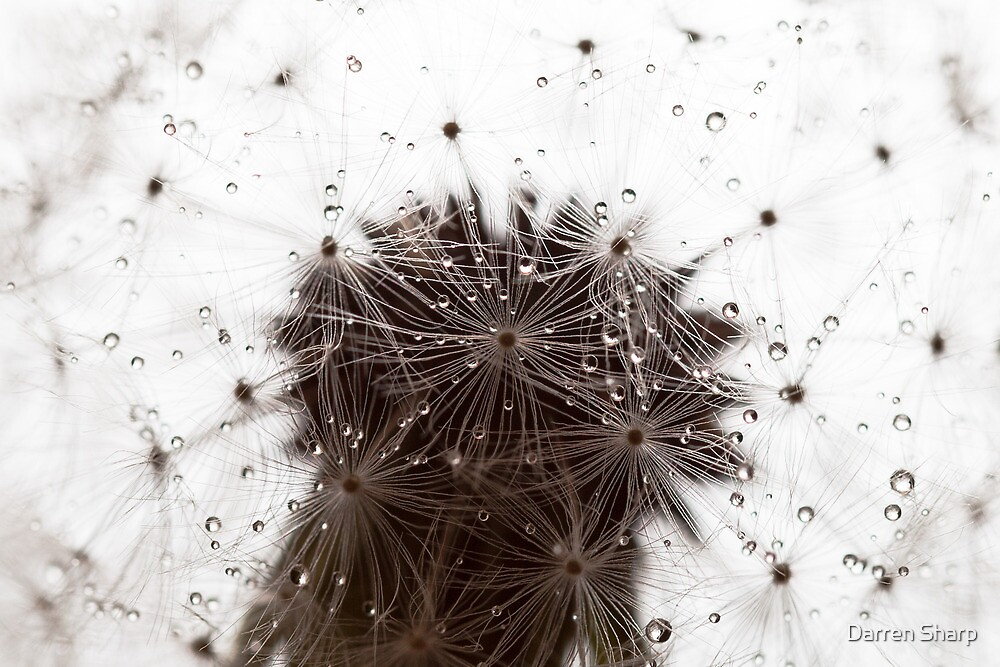 Dandelion flower covered with rain drops by Darren Sharp