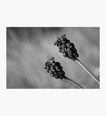 Black Muscari Photographic Print