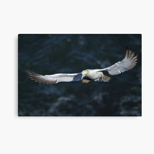 Gannet  Canvas Print