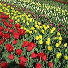 Tulips on Parade - Keukenhof Gardens von BlueMoonRose