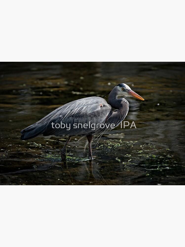 Blue Heron: A Simple Portrait by tobysnelgrove