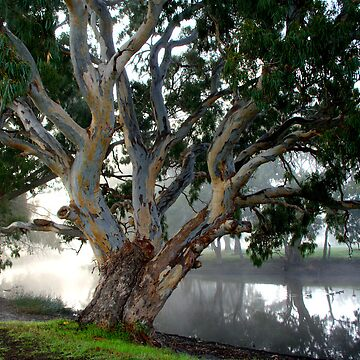 River Gums by napala