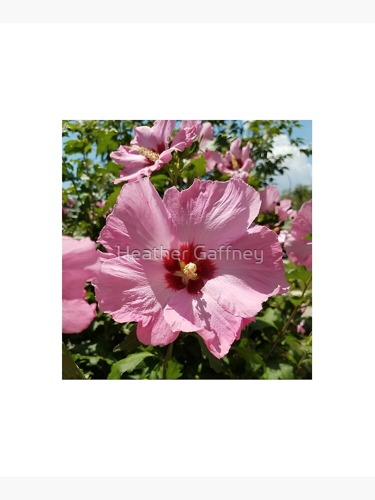Pink Hibiscus Flower in the Summer by MamaCre8s