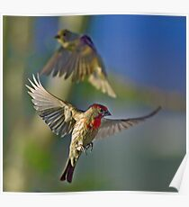 More House Finch Fiasco Poster