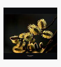 catkins Photographic Print