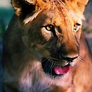 Panting Lion by SerenaB
