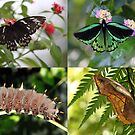 Poster size of the Cairns birdwing Butterfly by robmac