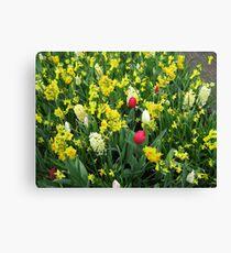 A Splash of Scarlet - Tulips among the Daffodils Canvas Print