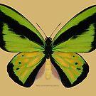 Male Goliath Birdwing Butterfly by Walter Colvin
